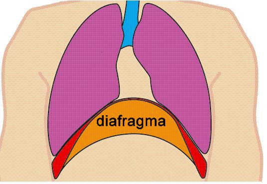 Diafragma pulmonar